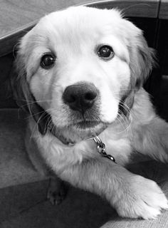 Golden retriever puppy Lilly