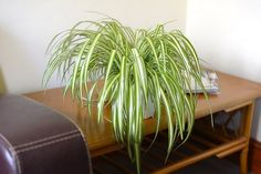 Spider plants are one of the most common houseplants. Spider plants also do well in many gardens, depending on the zone in which the garden is located. Foliage Plants, All Plants, Growing Plants, Indoor Plants, Balcony Plants, Balcony Garden, Spider Plant Babies, Chlorophytum, Garden Web