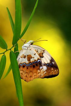Butterfly - by Balakrishnan Valappil