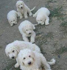 koomoodor dog | Komondor Dogs Puppies
