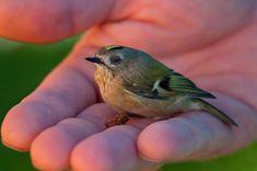 Goldcrest, Bird, Des Animaux