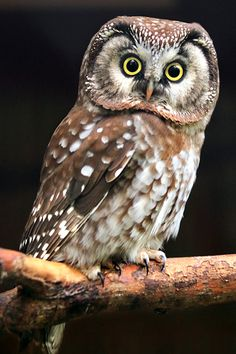 Boreal Owl In Wa. also  Nongame   New Hampshire Fish and Game Department