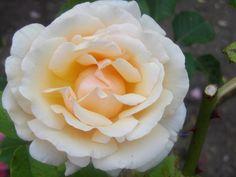 Jolie rose du jardin été 2016