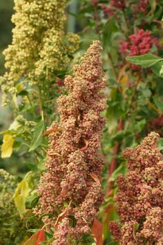 Quinoa. Who knew it is so beautiful!