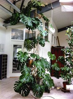 Monstera find your inspiration in the category Plants # . - Monstera find your inspiration in the category Plants # … - Hanging Succulents, Succulents Garden, Planting Flowers, Flowers Garden, Hanging Plants, Tropical Garden, Tropical Plants, Indoor Garden, Indoor Plants