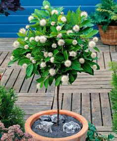 I must grow button bush (Cephalanthus occidentalis) as a topiary. And a SC native plant! Patio Trees, Garden Trees, Balcony Plants, Patio Plants, Flowering Shrubs, Trees And Shrubs, Moonflower Vine, Baumgarten, Pot Plante