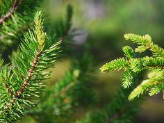 Wie weet het verschil tussen spar en den? En wat is eigenlijk een kerstboom: een den of een spar?