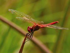 """Scarlet Darter  """"Crocothemis erythraea"""""""