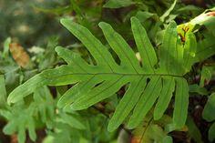 Phlebodium aureum | Blue star fern care | Houseplant Central