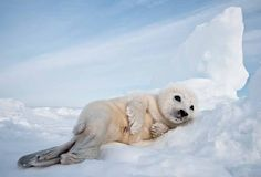 Now this Harp seal knows how to chill.