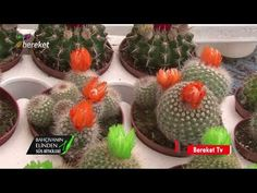 Cactus Care, Planting Roses, Orchids, Succulents, Fruit, Plants, Youtube, Food, Tv