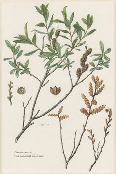 1960 Vintage Botanical Print Gale palustris Myrica by Craftissimo