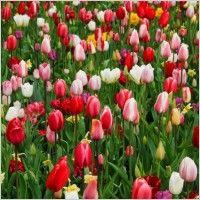 цветни лалета
