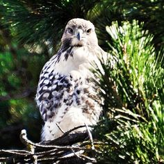 Red-tailed Hawk, California.