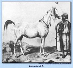 Gazella d.b Imported in 1845 by Count Julius Dzieduszycki for his Jarczowce Stud in Poland. Line foundress of great influence through her daughter Gazella I 1859. Strain: Kehilet Ajuz..