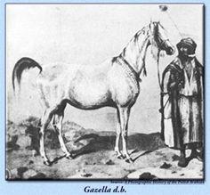 Gazella d.b Imported in 1845 by Count Julius Dzieduszycki for his Jarczowce Stud in Poland. Line foundress of great influence through her daughter Gazella I 1859. Strain: Kehilet Ajuz..