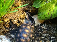 Tiny water holes can be created by using small bottle caps or tiny containers. Red Footed Tortoise, Small Bottles, Tortoises, Bottle Caps, Turtles, Phoenix, Water, Gripe Water, Tortoise