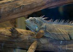 Särkänniemen Akvaariosta löytyy kalojen lisäksi myös muita eksoottisia eläimiä, mm. kuvan iguaanin voit tavata Särkänniemessä. Särkänniemi Aquarium's friendly iguana is resting in his tank.