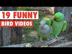 19 Funny Bird Videos    Awesome Compilation - http://funnypetvideos.net/19-funny-bird-videos-awesome-compilation/