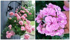 Ženy, toto je najlepšia rada, ako prezimovať muškáty, bez roboty: Na kupovanie nových priesad zabudnite, na jar budú ako z časopisu! Oahu, Floral Wreath, Wreaths, Decor, Gardening, Dekoration, Flower Crowns, Decoration, Door Wreaths