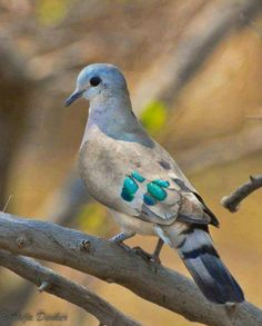 Green spotted dove