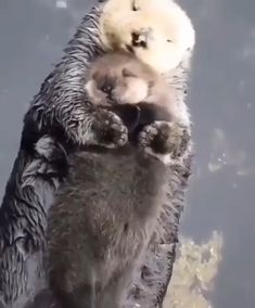 Momma sea otter making sure her pup is comfy 🔥 - Awesome animals - Nice cat Cute Little Animals, Cute Funny Animals, Cute Cats, Otters Funny, Otters Cute, Cute Animal Videos, Cute Creatures, Animal Memes, Animals Beautiful
