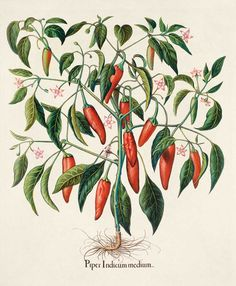 The Best Herbs for Pain Relief—Capsaicin, the compound that puts the heat in hot peppers, helps relieve nerve pain and arthritis discomfort when used in topically applied creams. Check out the link for more natural pain relief solutions. by Fran Duckworth Healing Herbs, Medicinal Plants, Natural Healing, Natural Herbs, Herbal Remedies, Home Remedies, Natural Remedies, Oliver Gal, Natural Medicine