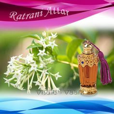 Raat Rani Attar, Concocted from the flowers of Cestrum Nocturnum with a base note of sandalwood oil, the Raat Rani attar offered by us has a distinctive sweet and strong fragrance. A natural preparation, it is held to be one of the most strongly scented attars worldwide.