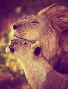 Beautiful lion love...
