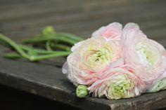rununculus from my garden '11