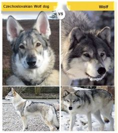 Czechoslovakian Wolfdog. Wolfdogs are nice because you can have a wolf (basically) without the worry of it being tooo agressive.