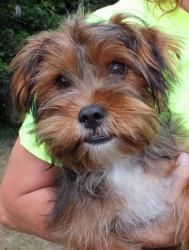 Bear 18433 is an adoptable Yorkie Dog in Prattville, AL. � Bear is a 6-month-old male Shorkie (Shih Tzu/Yorkie) mix.� Just look at his adorable little face!� Bear is black with reddish brown mixed t...