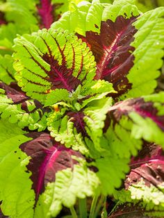 Veined shade-loving coleus is a colorful foliage plant that grows well in warm weather. Wait until nighttime temperatures remain well above freezing to plant it outdoors. Grow it in landscape beds or add it to container gardens to brighten shady corners.    When frost threatens, pot it up and enjoy it as a houseplant in a sunny window until spring. Then plant it outdoors once again!
