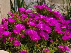 How to Grow and Care for Lampranthus: Lampranthus thrive in well-drained, poor soils and are suitable for soils with a sandy or rocky texture, although they'll grow in almost. Sun Plants, Water Plants, Garden Plants, Growing Succulents, Planting Succulents, Planting Flowers, Succulent Landscaping, Landscaping Tips, Small Garden Nursery