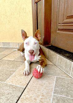 Pitbulls, Dogs, Posts, Animals, Pit Bulls, Pet Dogs, Pitbull, Doggies, Pit Bull Terriers