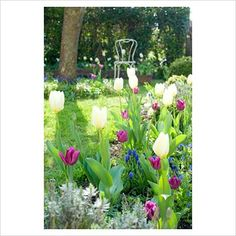 Spring cottage border with Tulipa 'White Dream', Tulipa 'Passionale' and Muscari