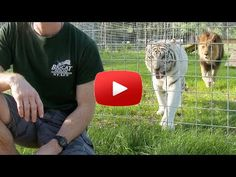 Watch what happens when you turn your back on BIG cats! #Cats #Tiger #Amazing