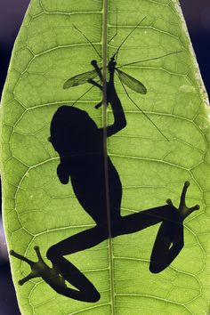 Frog catching cranefly silhouette - Gotcha! This is a backlit shot of a frog hunting a cranefly.