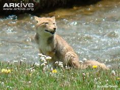 The Tibetan sand fox is a species of true fox endemic to the high Tibetan Plateau and Ladakh plateau in Nepal, China, Sikkim, and Bhutan, up to altitudes of about 5300 m.