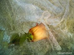 Rose on Lace