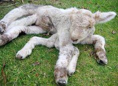 A bizarra ovelha aranha com 7 pernas