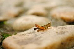 New free stock photo of nature insect grasshopper - Stock Photo