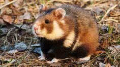 Corn diet causing niacin deficiency & cannibalism in hamsters