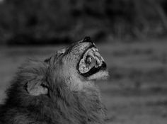 A flehmen grimace from one of the Matimba males