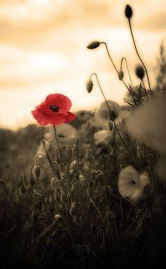 sepia poppy - Martyn Starkey
