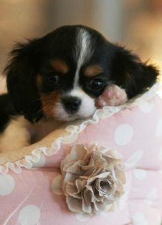 Cavalier King Charles Spaniel Puppy More