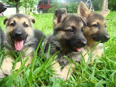 Babies! German shepherd puppies, so precious right now. #gsd