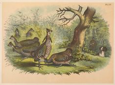 055-Pinnated Grouse or Prairie Hen      ...