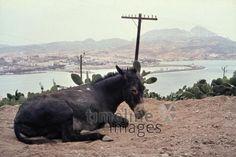 Esel auf dem Monte Acho, 1962 Czychowski/Timeline Images #1960 #60er #60s #Marokko #Morocco #Esel #Donkey #Landschaft #Ceuta #Gipfel #Berg