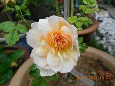 Grace rose... Second bloom